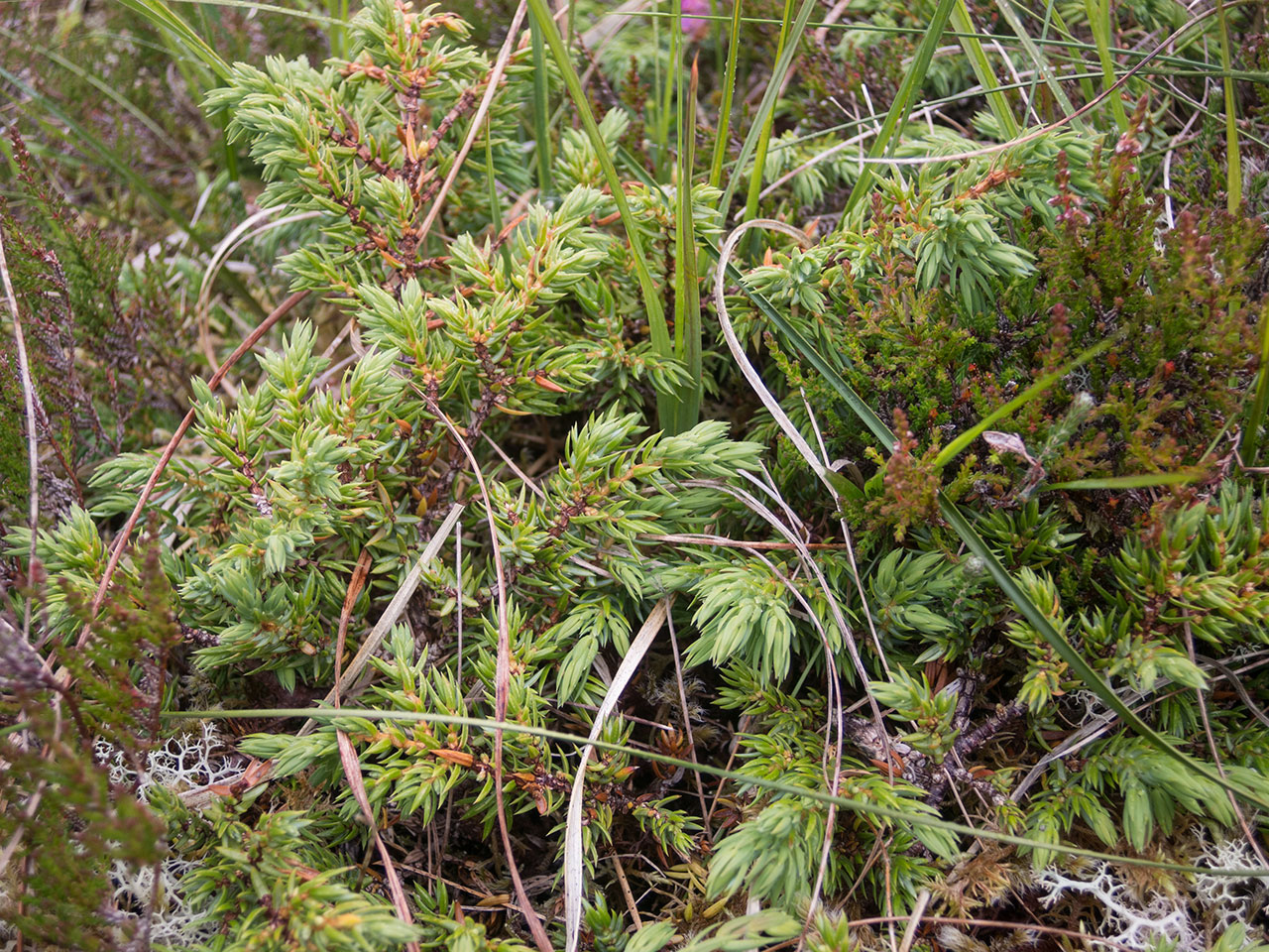Juniper plant on the Lewis moorland